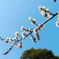 成海神社の梅の花