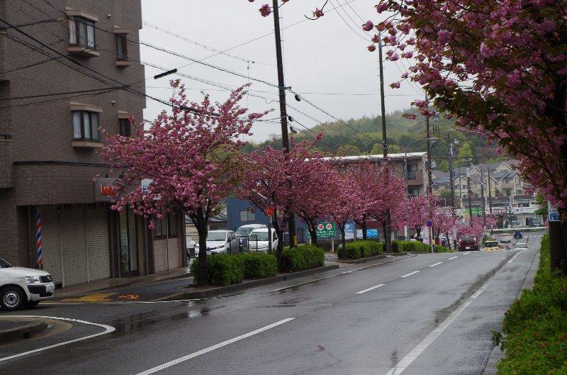 亀が洞 八重桜