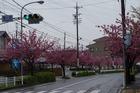 八重桜が満開の道