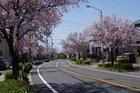 滝の水川沿いの桜